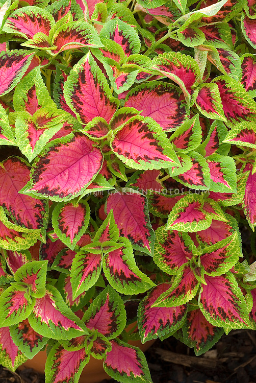 coleus plant stock images  images  plant  flower stock, Natural flower