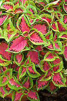 Coleus 'Watermelon' Solenostemon annual foliage plant in green and red showing entire plant with many leaves