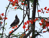 Stock image Myna sitting on flames of forest or Gulmohar tree.<br />