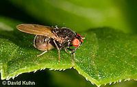 1225-0908  Small Black Fly, Family: Xenochaetina  © David Kuhn/Dwight Kuhn Photography