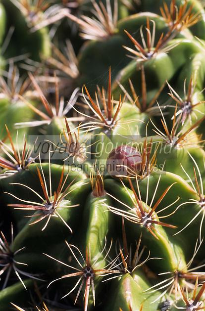 Europe/Espagne/Canaries/Lanzarote/Guatiza : Le jardin de cactus conçu par Cesar Manrique - Ferocactus robustus