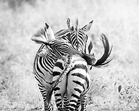 Two zebra rest playfully during some afternoon downtime in the Serengetti.