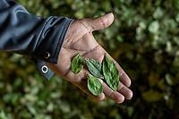 """A supporter of former Bolivian President Evo Morales, known as coca grower """"cocalero"""", shows coca leaves dried in the local coca market, in Entre Rios, Chapare province, Bolivia. November 27, 2019.<br /> Un partisan de l'ancien président bolivien Evo Morales, connu sous le nom de cultivateur de coca """"cocalero"""", montre des feuilles de coca séchées sur le marché local de la coca, à Entre Rios, province du Chapare, Bolivie. 27 novembre 2019."""