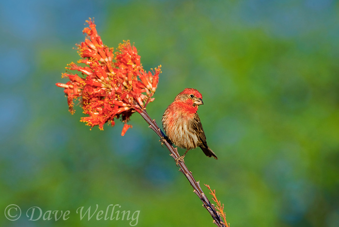 528800248c a wild male house finch podocarpus mexicanus sits on ocotillo flowers foqueria splendens near green valley arizona united states