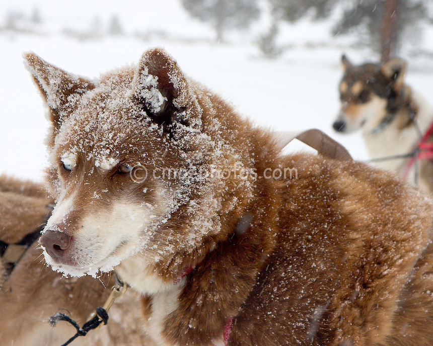 Coco the sled dog pack leader takes a break during a sled ride near Camp Hale, Colorado