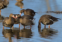 537260011 wild  greater white-fronted geese anser albifrons at colusa national wildlife refuge califonia