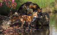 Red fox and cross fox