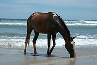 Tamarindo beach Horse playing in the surf Costa Rica, Pacific Ocean, horse, Equus ferus caballus