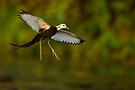 Pheasant-tailed Jacana (Hydrophasianus chirurgus) flying in breeding plumage, Diyasaru Park, Colombo, Sri Lanka