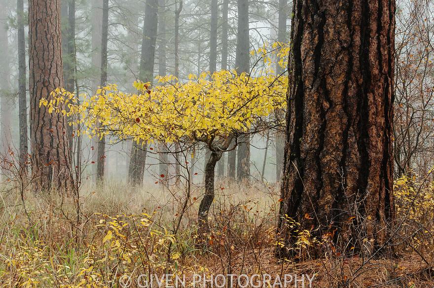 Aspen and Ponderosa Pine Forest