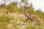 Eastern Grey Kangaroo (Macropus giganteus) female in scrubland, Mount Taylor Nature Reserve, Canberra, Australian Capital Territory, Australia