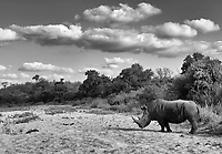 I never tire of seeing the endangered white rhino in the wild.