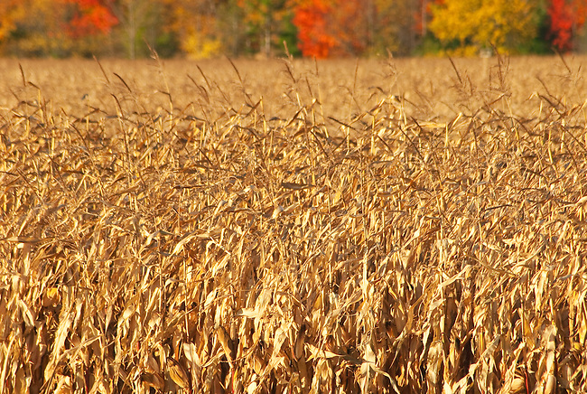 A Corn crop awaits harvesting in autumn in Door County, Wisconsin