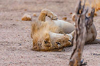 africa, Zambia, South Luangwa National Park,  Lion sleeping in a funny position