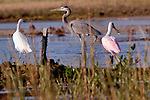 A littl egret, blue heron, and roseatte spoonbill wade the shallow flats searching for food.