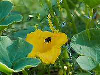 A bumblebee flies to a zucchini flower