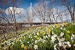 Daffodils frame the Leonard P. Zakim Memorial Bridge, Boston, MA