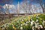 Daffodils frame the Leonard P. Zakim Memorial Bridge, Boston, MA