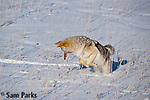 Coyote mousing in winter. Yellowstone National Park, Wyoming.