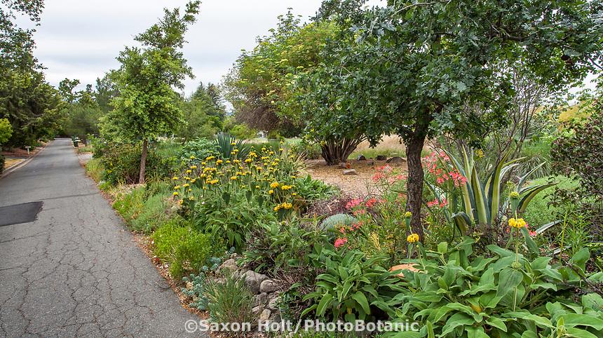 Mixed border with Blue Elderberry, Sambucus mexicana  in no summer water demonstration garden across street from Judy Adler Garden, Walnut Creek, California next to dry hills open space