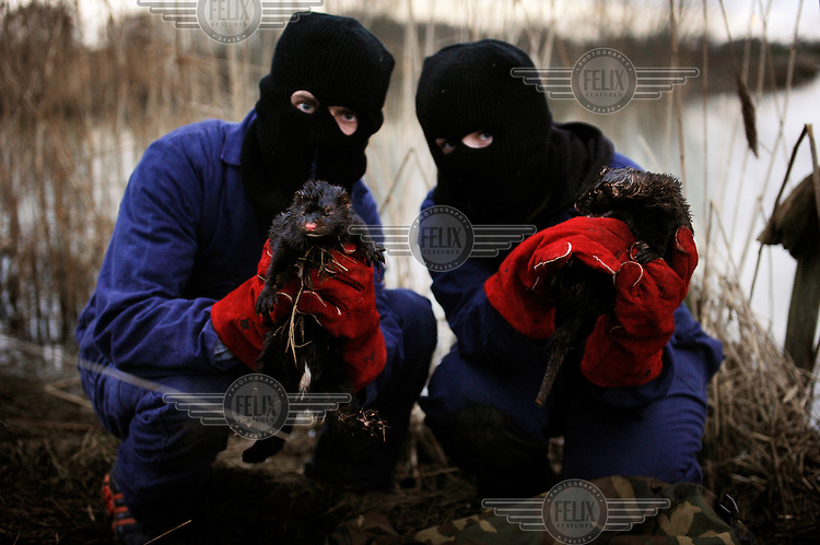 Minks are released after activists from the Animal Liberation Front (ALF) broke into a mink farm in order to release some 2,500 minks into the wild.