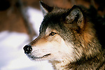 Wolf (Canis lupus) portrait in winter.  Minnesota.