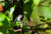 An endemic female Bee Hummingbird (Mellisuga helenae) vocalizing from a secluded perch. Cuba.