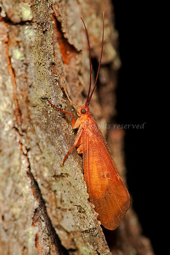 A colorful Caddisfly photographed at night.