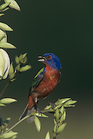 Painted Bunting, Passerina ciris,male singing on blooming Soaptree Yucca (Yucca elata) , Lake Corpus Christi, Texas, USA, May 2003