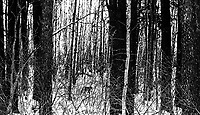 Soon after we found our first lynx, we had a family of four cats run off the road and into the woods. We were able to walk parallel to them on foot, but even a relatively sparse stretch (by Riding Mountain standards) was too thick to allow for any open views. This somewhat abstract rendition shows how difficult it can be spotting these cats... do you see it?