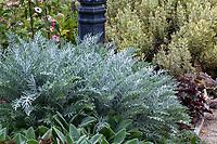 Centaurea gymnocarpa, (syn. Centaurea cineraria var. gymnocarpa) Purple Bush Dusty Miller silver gray summer-dry foliage perennial; Gamble Garden, Palo Alto, California
