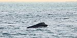 An Endangered Northern Right Whale is observed off Cape Cod sifting zooplankton through its baleen. It is estimated that there are fewer than 400 living today. Heavy and slow moving, they are at constant risk of colliding with ships or lobster and fishing gear, and so their numbers are declining.