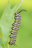 Monarch Butterfly (Danaus Plexippus) caterpillar (larva) 5th instar on a Milkweed plant leaf.