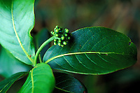 Kopiko (Psychotria mariniana) is a native Hawaiian plant, a part of the coffee family, Manoa Cliffs Trail, Honolulu