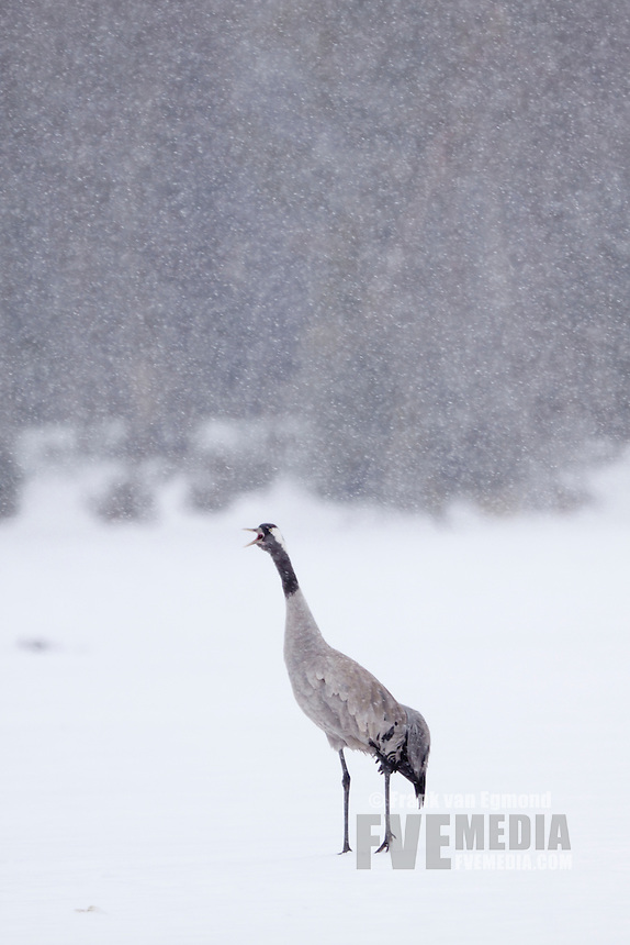 Common Crane on ice during heavy snowfall.