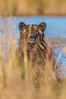 Male brown bear peers through the grass while wading in the Brooks River fishing for salmon, Katmai National Park, southwest, Alaska.