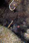 Seaweed Blenny and the Hook, Parablennius marmoreus, Seaweed blenny shows fear as a hook is lowered to catch him, Underwater Marine life Behavior, Blue Heron Bridge, Lake Worth Inlet, Riviera, Florida, USA, Intra Coastal Waterway, North Atlantic Ocean.4-4-10-346