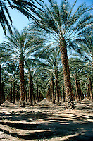 TREES - PLANTS<br /> Date Palm Plantation<br /> Southern CA