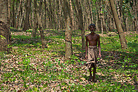 Worker at a Rubber Tree Plantation on the Road to Dambulla Sri Lanka, Rubber Tree Farmer