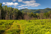 Regrowth (foreground) of forest in 2011 three months +/- after a controlled burn along the Kancamagus Highway in the White Mountains, New Hampshire USA.