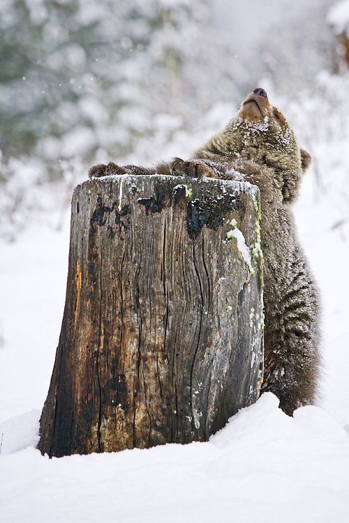 Young Grizzly standing up against a snowy tree stump - CA