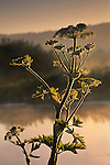 Cow Parsnip at sunrise, Arcata Marsh, Arcata, Humboldt County, CALIFORNIA