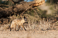Adult Bat-eared fox running in Nossob riverbed