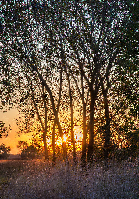 The sun rises across Midewin National Tallgrass Prairie as seen through a copse of young Cottonwood trees, Willl County, Illinois