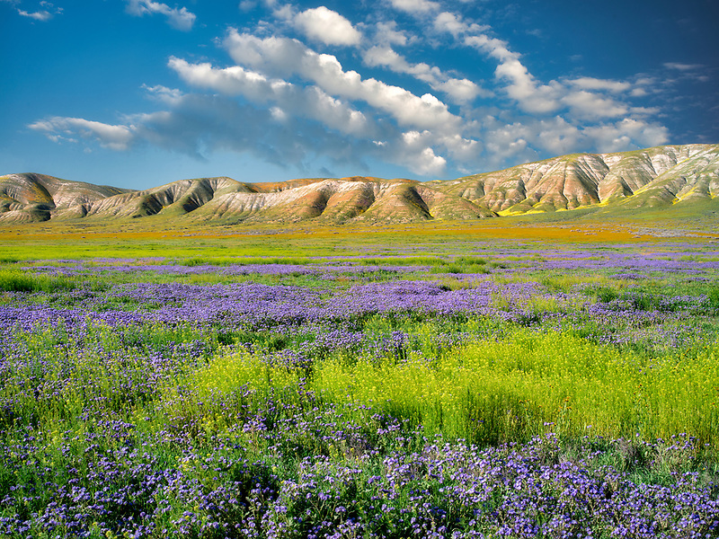 Carizzo plain with mostly purple Fremont's Phacelia (Pacelia fremontii.Carrizo Plain National Monument, California