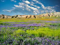 Carizzo plain with mostly purple Fremont's Phacelia (Pacelia fremontii.Carrizo Plain National Monument, California