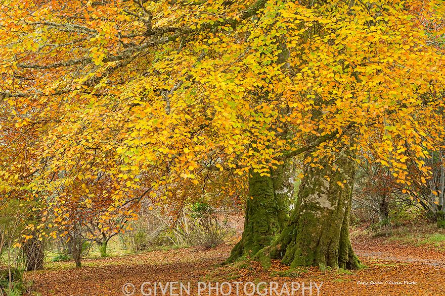 Beech Tree in autumn, Isle of Skye, Scotland