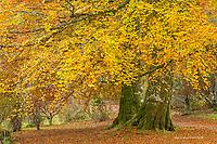 Ash Tree in autumn, Isle of Skye, Scotland
