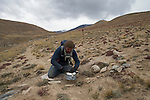 Snow Leopard (Panthera uncia) biologist, Shannon Kachel, placing snare trap used for catching and collaring gray wolves, Sarychat-Ertash Strict Nature Reserve, Tien Shan Mountains, eastern Kyrgyzstan