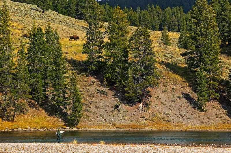 Fly fisherman on Yellowstone River with baffalo. Yellowstone National Park, Wyoming